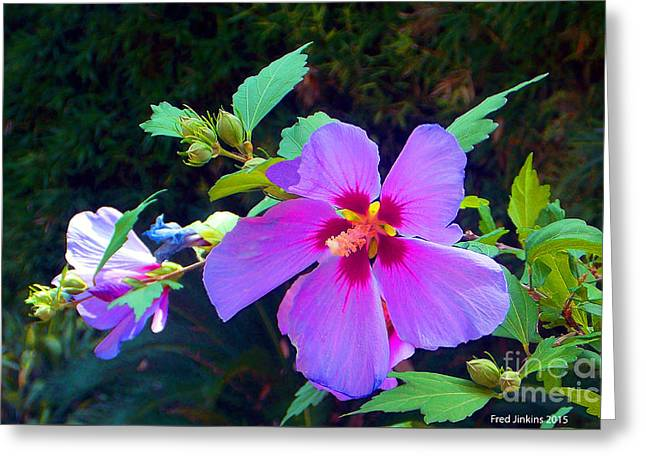 Althea Blossom Greeting Card by Fred Jinkins