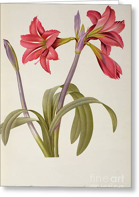 Red Petals Greeting Cards - Amaryllis Brasiliensis Greeting Card by Pierre Redoute