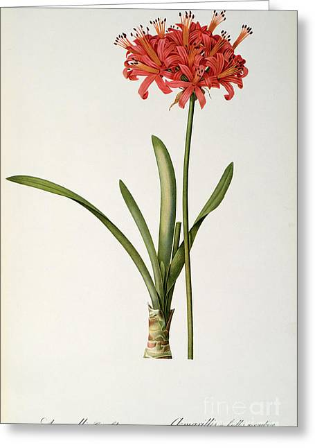 Flower Blooms Drawings Greeting Cards - Amaryllis Curvifolia Greeting Card by Pierre Redoute