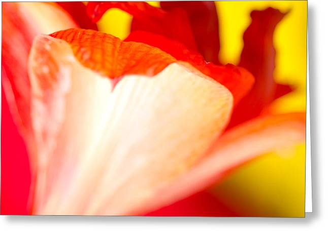 Blooms Greeting Cards - AMARYLLIS SHADOW abstract flower with shadow on red and yellow Greeting Card by Andy Smy