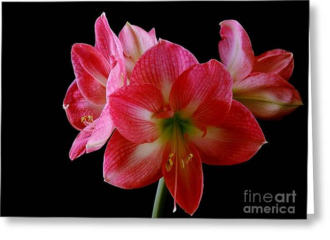 Amaryllis Greeting Card by The Stone Age