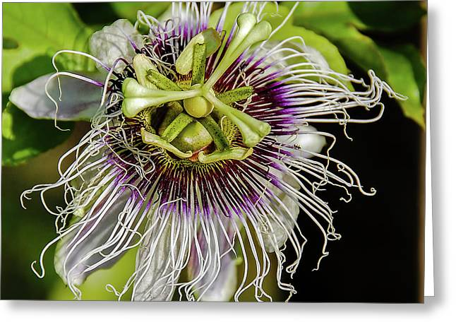 Amazon Passion Flower Greeting Card by Morris Finkelstein