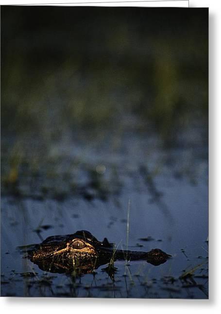 American Alligator Greeting Cards - American Alligator Alligator Greeting Card by Raymond Gehman