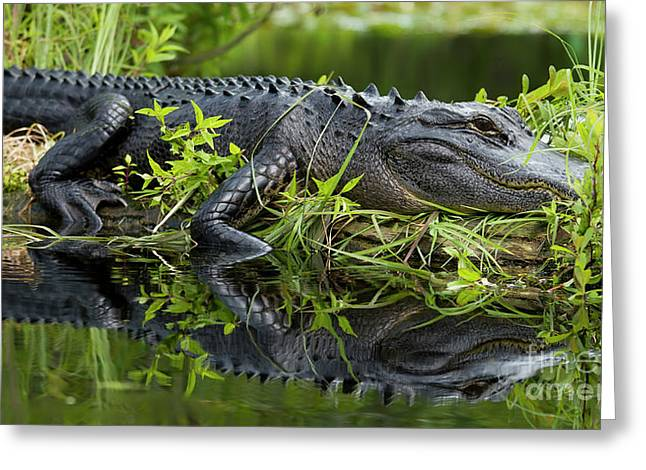 American Alligator In The Wild Greeting Card by Dustin K Ryan