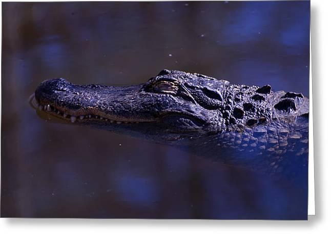American Alligator Greeting Cards - American Alligator sleeping Greeting Card by Chris Flees
