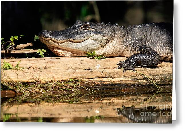 American Alligator Greeting Cards - American Alligator suns itself Greeting Card by Matt Suess