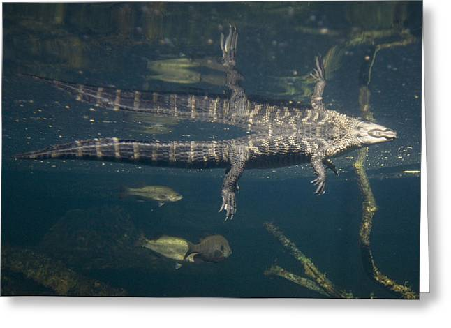 Desert Dome Greeting Cards - American Alligators From The Omaha Zoos Greeting Card by Joel Sartore