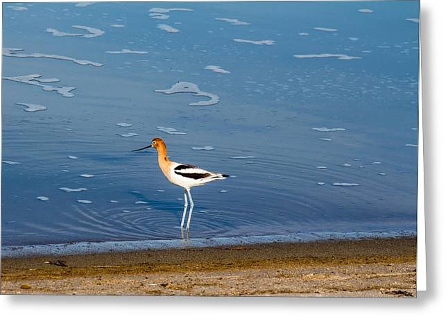 Ventura California Greeting Cards - American Avocet in Tidepool McGrath State Beach Greeting Card by Danny Goen