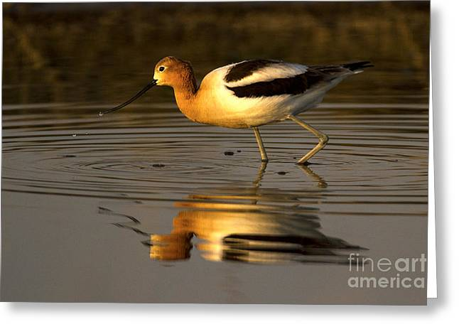 Wildlife Refuge. Greeting Cards - American Avocet Greeting Card by Sharon Ely