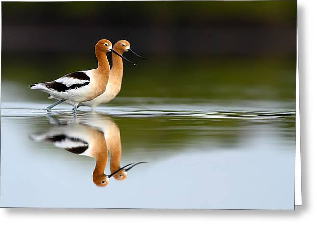 Recently Sold -  - Fineartamerica Greeting Cards - American Avocets Greeting Card by Scott Helfrich