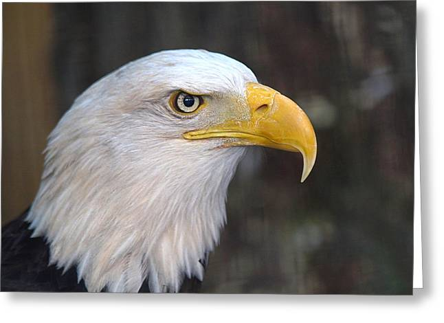 American Bald Eagle Greeting Card by Peter Gray