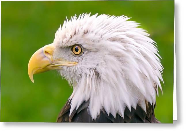 American Bald Eagle Profile Greeting Card by Jim Hughes