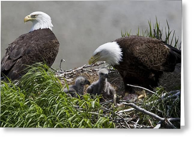 Groups Of Animals Greeting Cards - American Bald Eagles, Haliaeetus Greeting Card by Roy Toft
