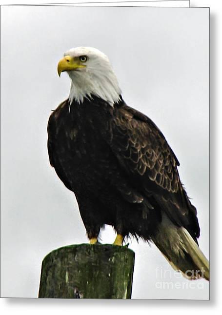 American  Bird Greeting Card by Robert Bales