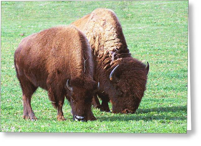 Bison Photos Greeting Cards - American Bison Photo Greeting Card by Linda Phelps
