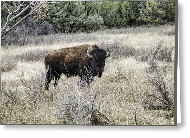 American Bison Greeting Card by Phyllis Taylor