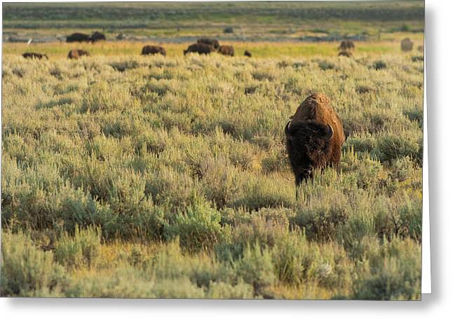 American Bison Greeting Card by Sebastian Musial