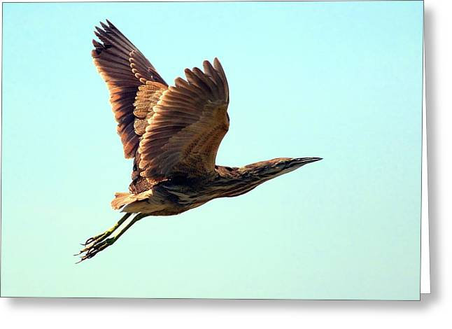 Flying Animal Greeting Cards - American Bittern Greeting Card by Randall Ingalls