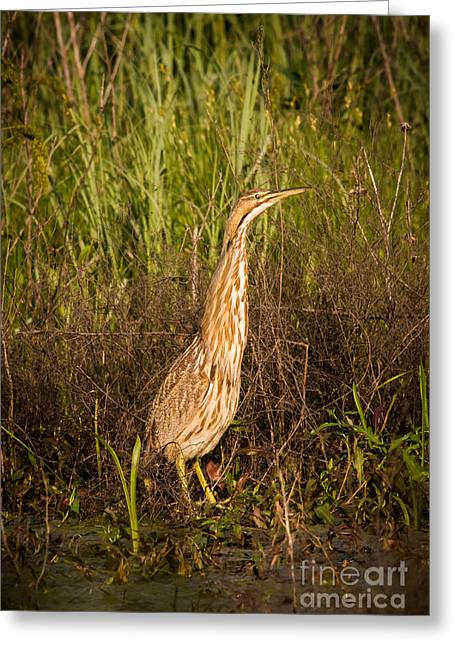 Catalog Greeting Cards - American Bittern Greeting Card by Robert Frederick