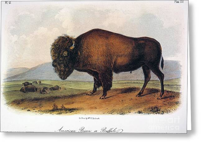 1846 Greeting Cards - American Buffalo, 1846 Greeting Card by Granger