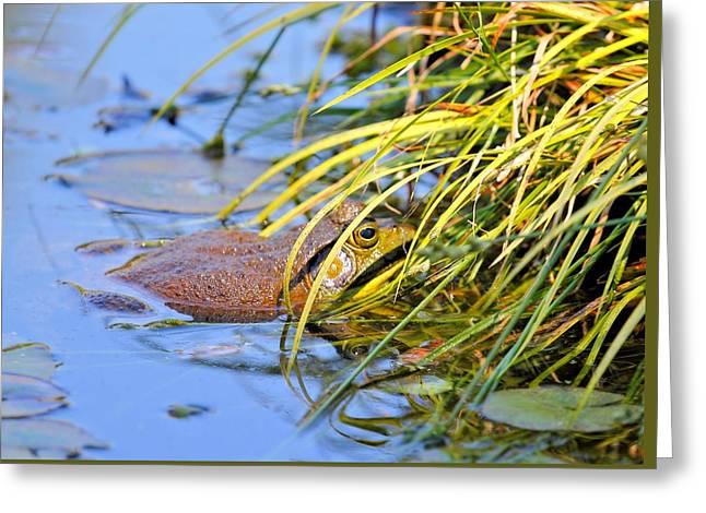 Aquatic Greeting Cards - American Bullfrog Greeting Card by Katherine White