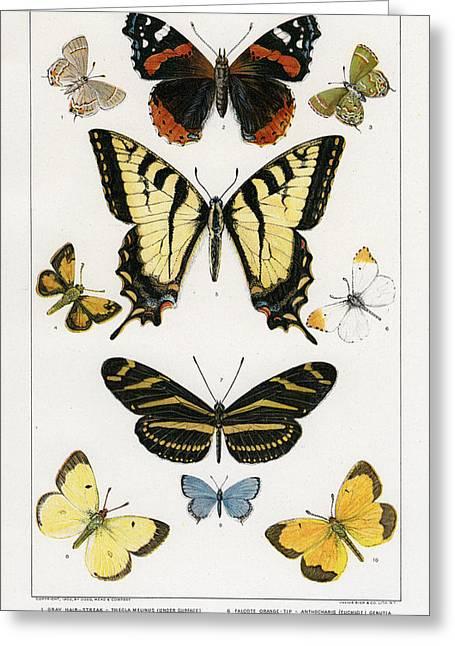 American Butterflies Greeting Card by Julius Bien