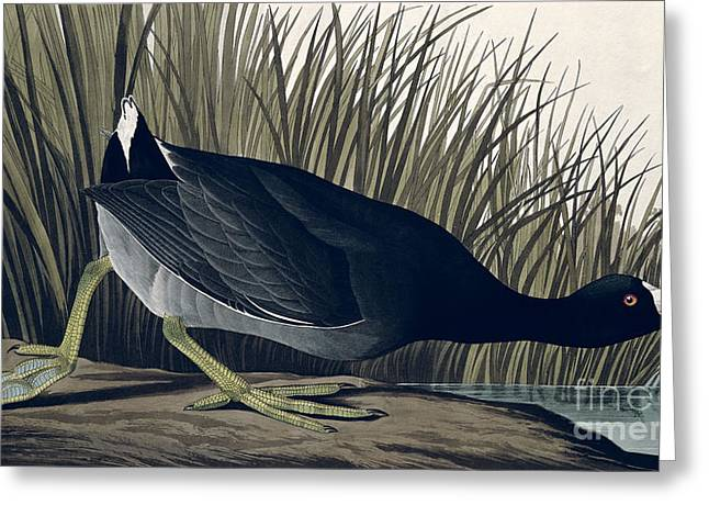 1835 Greeting Cards - American Coot Greeting Card by John James Audubon