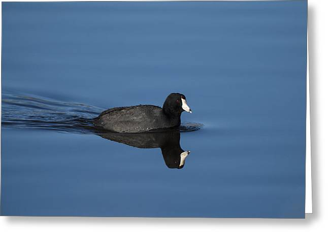Fowl. Wildlife Greeting Cards - American Coot Greeting Card by Noah Bryant