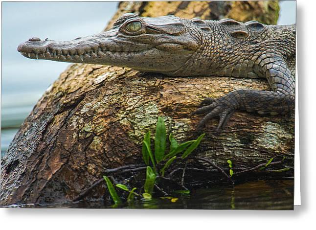 Animal Body Part Greeting Cards - American Crocodile Crocodylus Acutus Greeting Card by Panoramic Images
