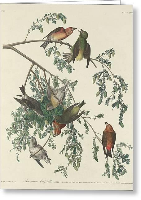 American Crossbill Greeting Card by John James Audubon