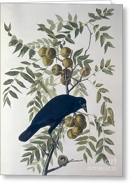 Wild Life Drawings Greeting Cards - American Crow Greeting Card by John James Audubon