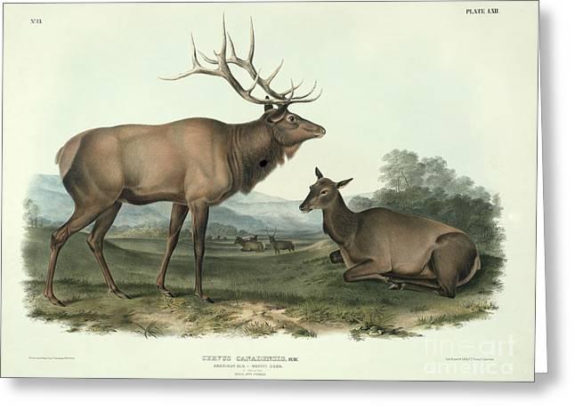 Wild Life Paintings Greeting Cards - American Elk Greeting Card by John James Audubon