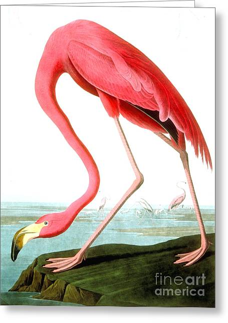 Animal Greeting Cards - American Flamingo Greeting Card by John James Audubon