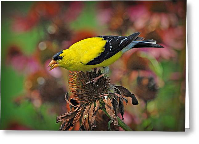 American Goldfinch Greeting Card by Dave Chafin