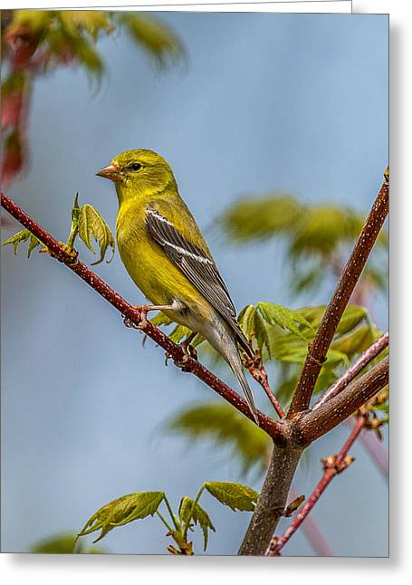 Birdwatcher Greeting Cards - American Goldfinch perched in a tree. Greeting Card by Paul Freidlund
