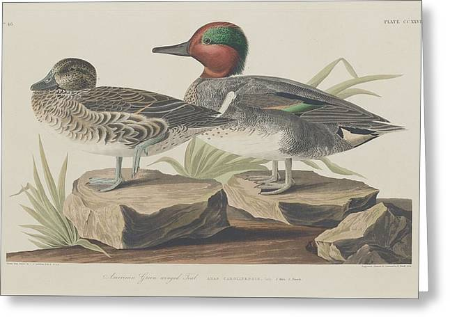 Cormorants Greeting Cards - American Green-Winged Teal Greeting Card by John James Audubon