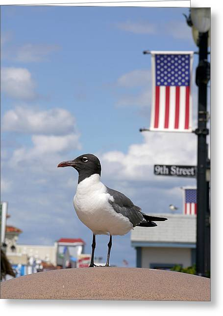 Seabirds Greeting Cards - American Gull  Greeting Card by Richard Reeve