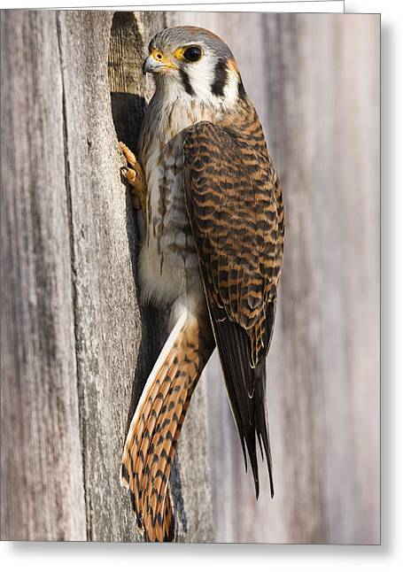 Animal Behaviour Greeting Cards - American Kestrel Female At Nest Box Greeting Card by Sebastian Kennerknecht