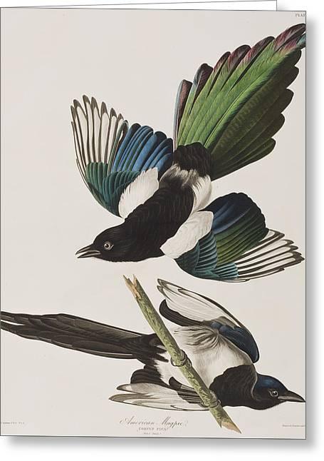 American Magpie Greeting Card by John James Audubon
