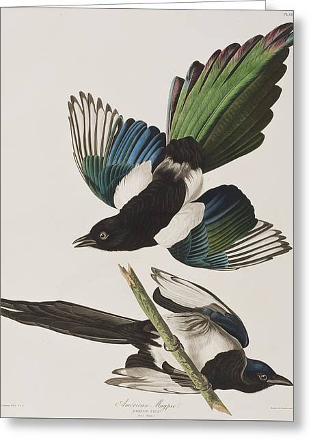 357 Greeting Cards - American Magpie Greeting Card by John James Audubon