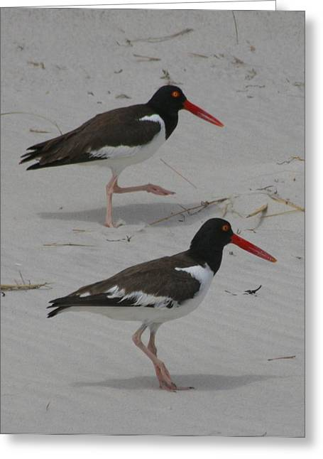 Shorebirds Greeting Cards - American Oyster Catchers Greeting Card by Christopher Kirby