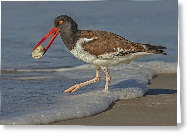 Feeding Birds Greeting Cards - American Oystercatcher Grabs Breakfast Greeting Card by Susan Candelario