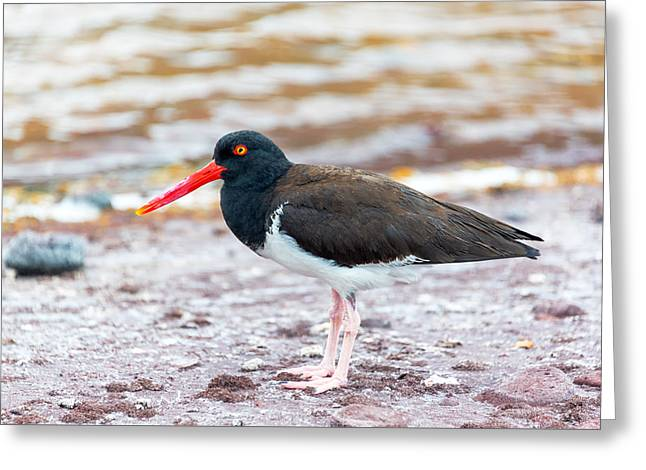 Seabirds Greeting Cards - American Oystercatcher Greeting Card by Jess Kraft