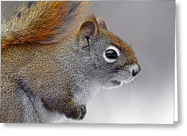 American Red Squirrel Profile Greeting Card by Asbed Iskedjian