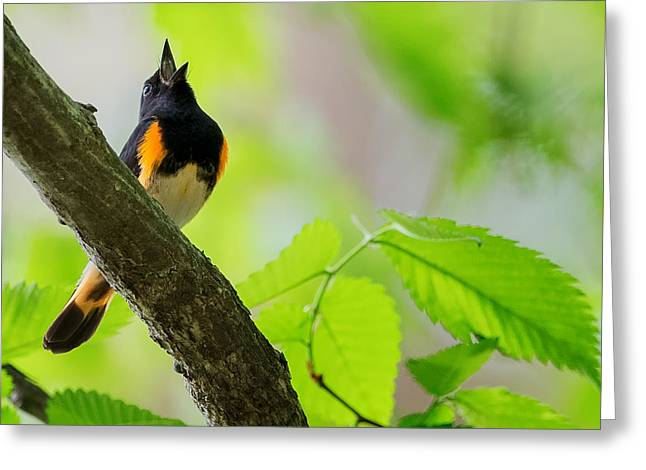 Warbler Greeting Cards - American Redstart Greeting Card by Bill Wakeley