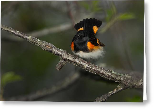 American Redstart Greeting Cards - American Redstart Greeting Card by Christopher Ciccone