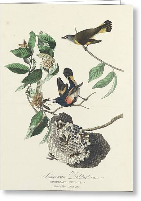 American Redstart Greeting Cards - American Redstart Greeting Card by John James Audubon