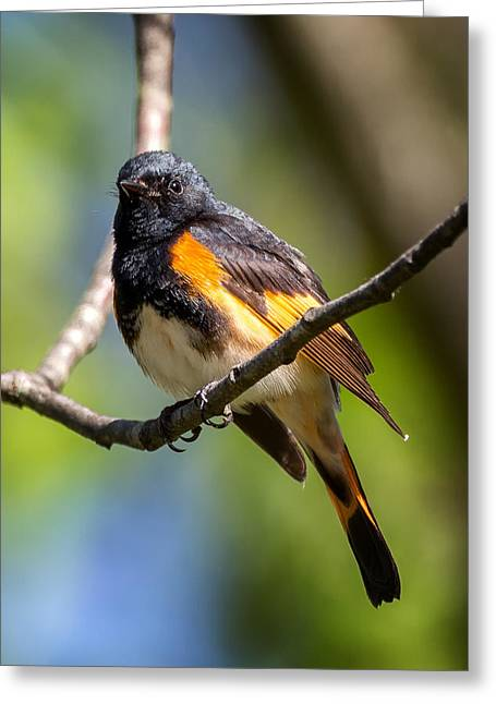 American Redstart Greeting Cards - American Redstart Portrait Greeting Card by Bill Wakeley