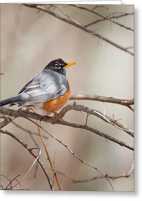 Square Format Greeting Cards - American Robin Greeting Card by Bill  Wakeley