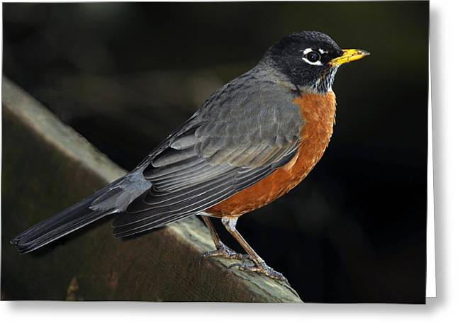 Feeding Birds Photographs Greeting Cards - American Robin Greeting Card by Laura Mountainspring